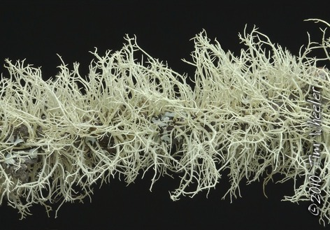 This densely packed lichen bloom with its characteristic uniform thalli is good evidence that the parathallus of Usnea lapponica once encrusted this length of alder branch.