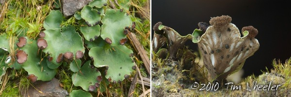 """Peltigera"" venosa: probably not what you think."
