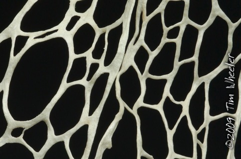 "The Fishnet Lichen (fungal partner Ramalina menziesii) is not only a network of networks of networks, it is also cells within a ""metacell""."