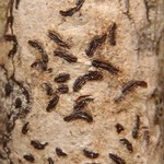 Graphis striatula